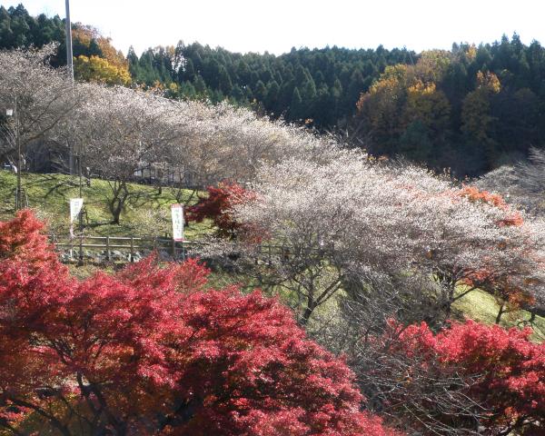 豊田市小原村の四季桜
