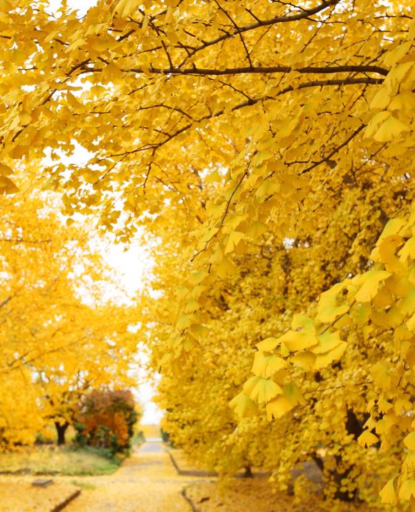 そぶえイチョウ黄葉まつり