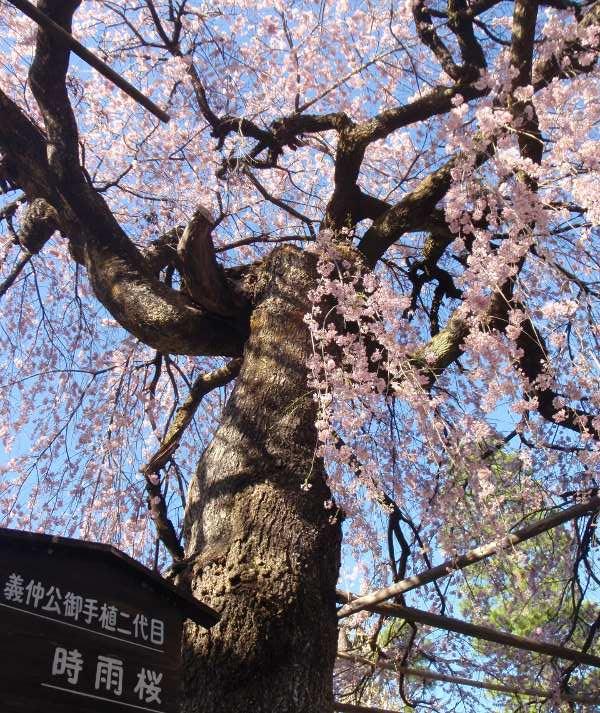木曽義仲お手植え時雨桜
