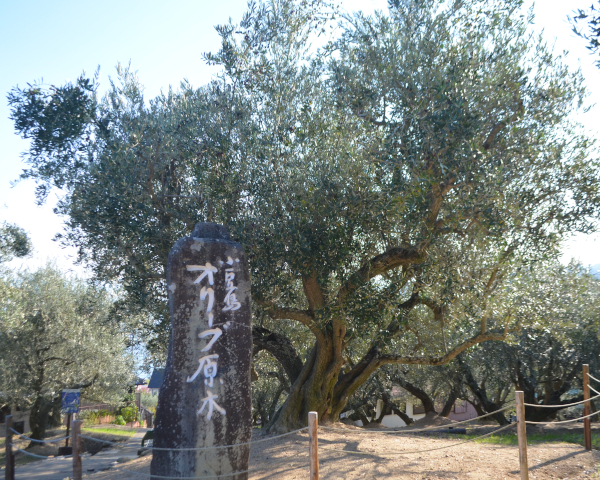 オリーブの原木