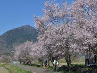 筑波山と桜