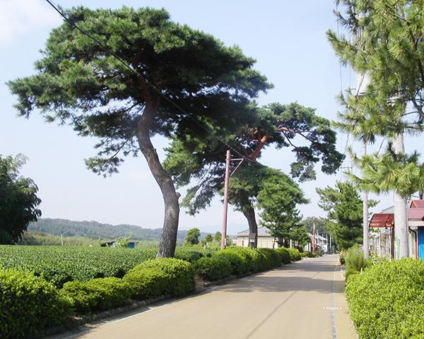 東海道宿場町・土山の松並木