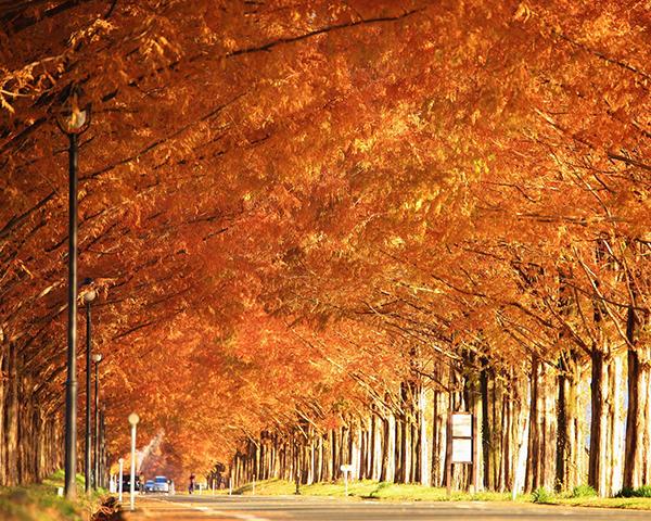 マキノ町のメタセコイアの並木道